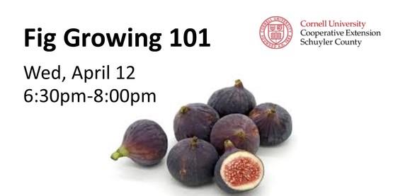 Fig Growing 101
