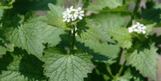 Garlic Mustard foliage