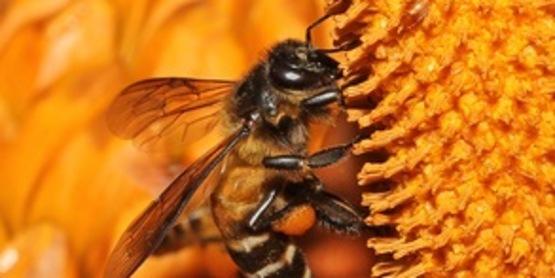 Foraging Wild Honey Bee