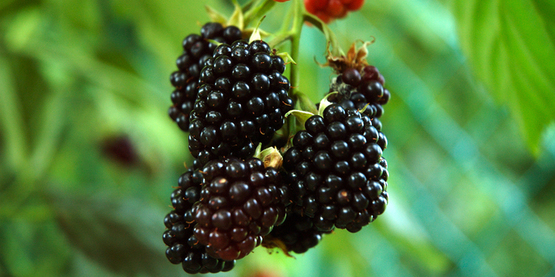 Blackberry on the vine