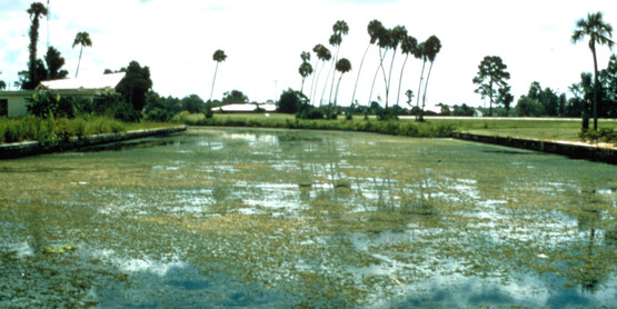Infestation of Hydrilla verticillata discovered in the Crystal River in south Florida in 1960.