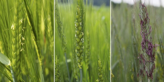 barley wheat and rye flowering