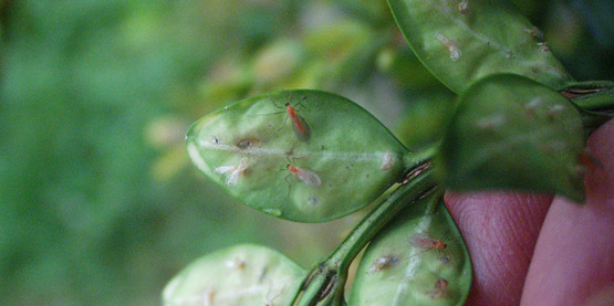 boxwood leaf miner