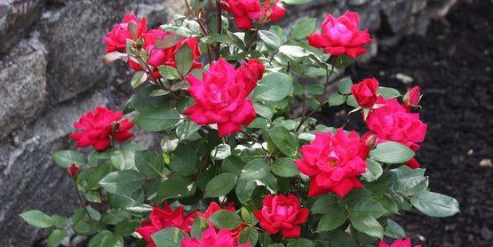 Maplewood Rose Festival