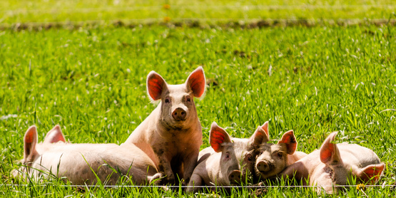 Introduction to Raising Pigs