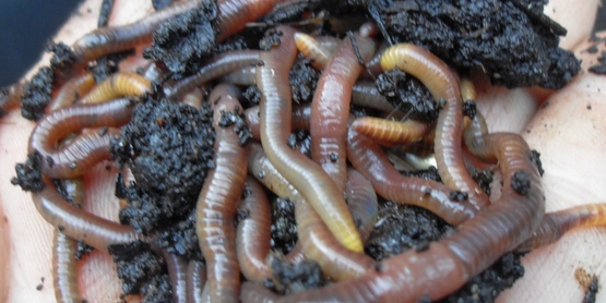 A handful of healthy worms coming out of coffee compost; vermicomposting