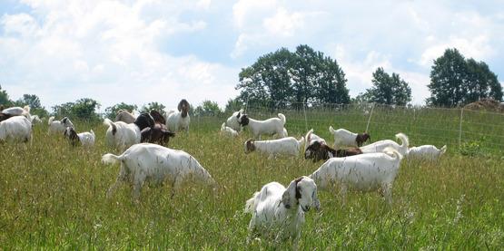 Meat goats grazing in an open field