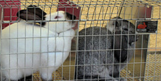 Rabbit/Cavy/Poultry Cage Clinic