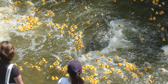 Rubber ducks floating down Cascadilla Creek in the 4-H Rubber Duck Race, Ithaca NY