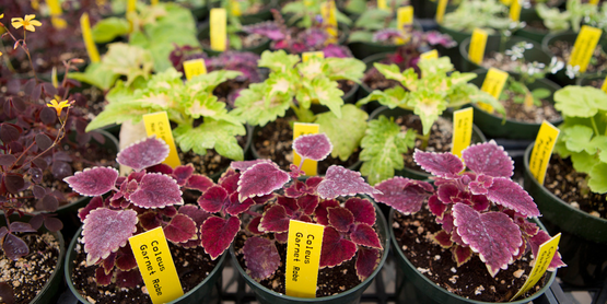 Coleus are a popular spring annual.