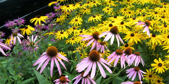 coneflowers and black eyed susans (echinacea & rudbeckia)