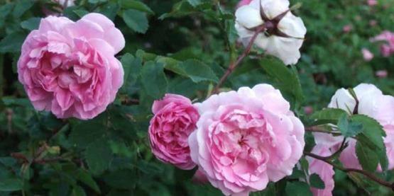 Rosa × reversa 'Poppius'