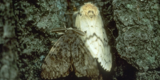 Gypsy Moth Adult Female and Male