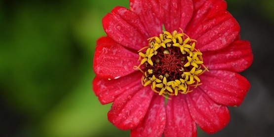 Zinnia flower.