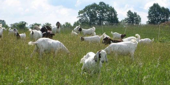 Good Goat Grazing