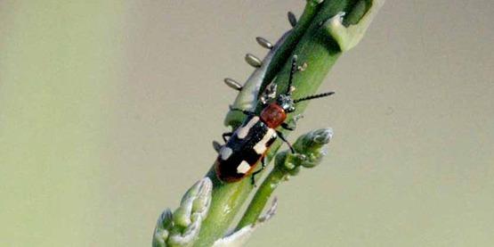 Asparagus beetle and eggs on asparagus asparagus beetle (Crioceris asparagi)