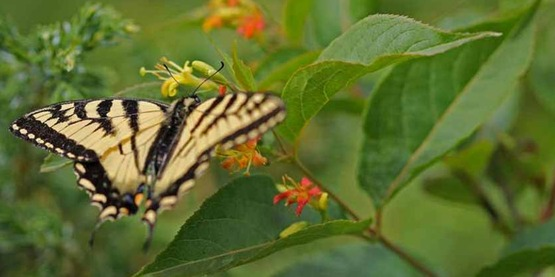 eastern tiger swallowtail (Papilio glaucus) Butterfly