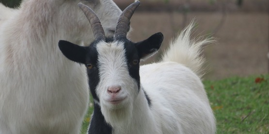 4-H ​FLX Goat Field Day