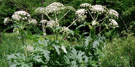 Giant hogweed in bloom