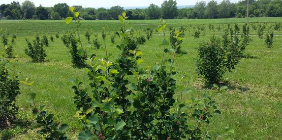 Guy Lister's Juneberry Farm in Ovid, NY