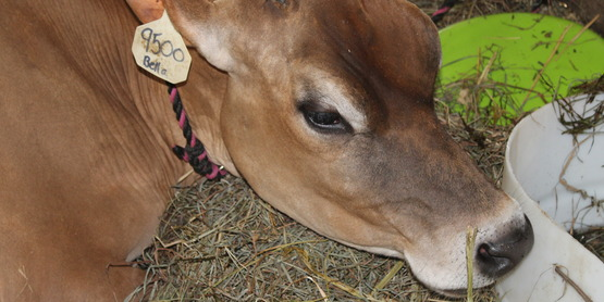 4-H Dairy Day