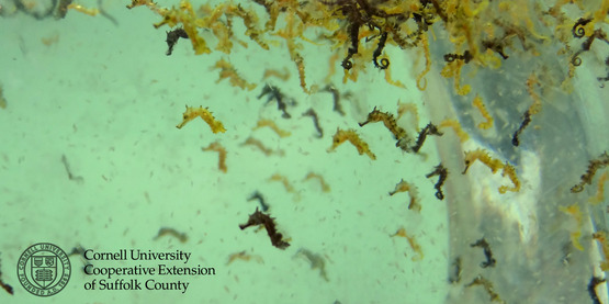 Two day old seahorses born at the Suffolk County Marine Environmental Learning Center.