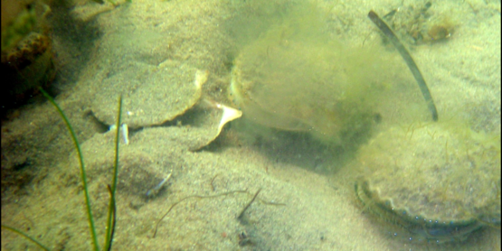 Spawning bay scallops-NW Hbr (from Tettelbach & Weinstock 2008: Bulletin of Marine Science