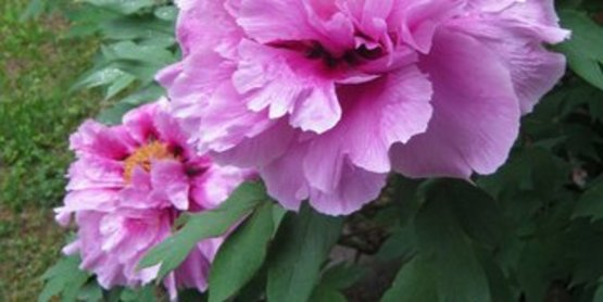 Tree Peony Cover Photo