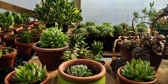 succulents in pots, from Magic Garden nursery, from their website