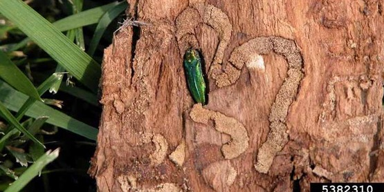 Learn how to identify and manage Emerald Ash Borer at this class on May 17.