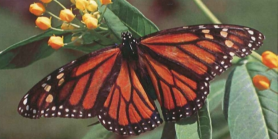 Monarch Butterfly Restoration in WNY!!!