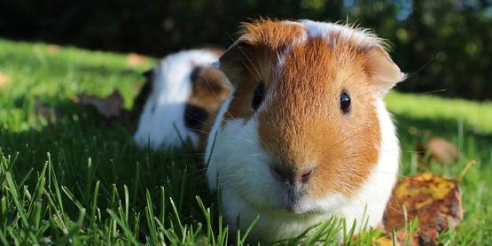 4-H Guinea Pig Club