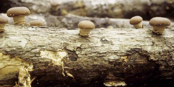 shiitake mushroom farming on logs