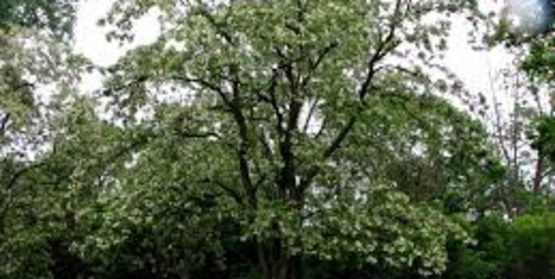 Growing Black Locust as a Timber Cash Crop