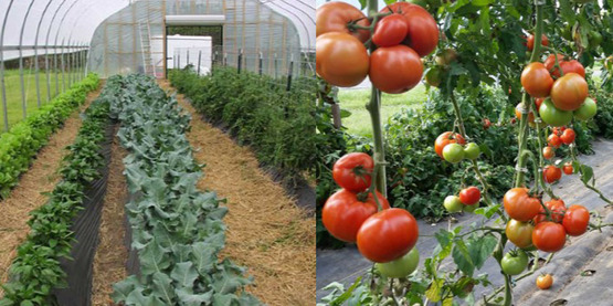 Basics of Vegetable Production in High Tunnels