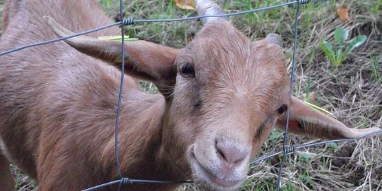 4-H Goat Barn Setup