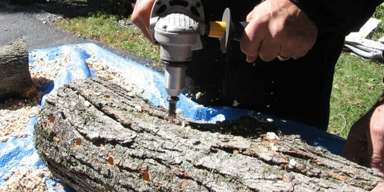 Drilling holes in oak logs prior to inoculating with shiitake spawn