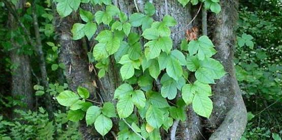 70% of the US population is sensitive to Poison ivy