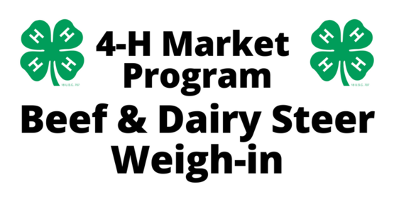 4-H Market Beef and Dairy Steer Weigh-in