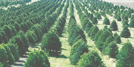 Shop at a Local Farm this Christmas Tree Season