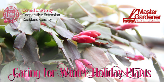 Caring for Winter Holiday Plants: Amaryllis, Poinsettia, and Winter Cactus