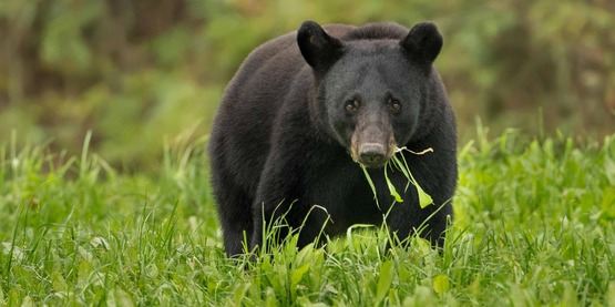 Black bears can be spotted in Columbia and Greene Counties