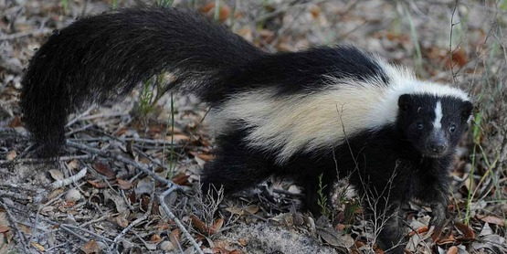 Skunks are not uncommon in Columbia and Greene Counties