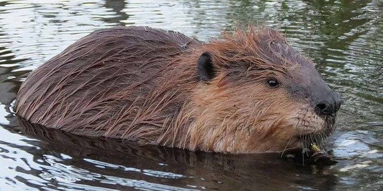 Beavers make ponds and can change the landscape