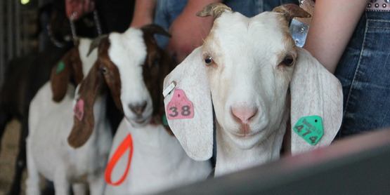 4-H Goat Weigh-In