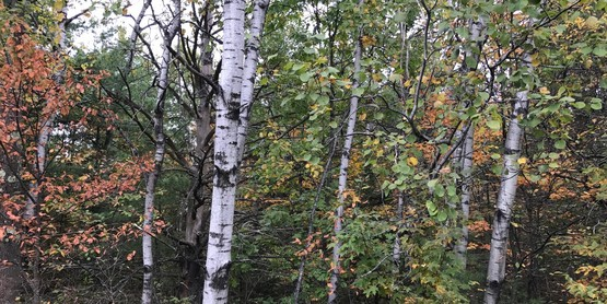birch trees in Siuslaw forest