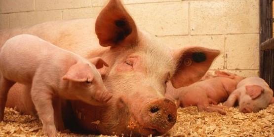 Beginning Pigs