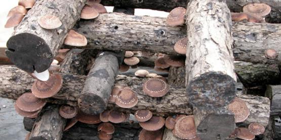 2018 Shiitake Mushroom Cultivation