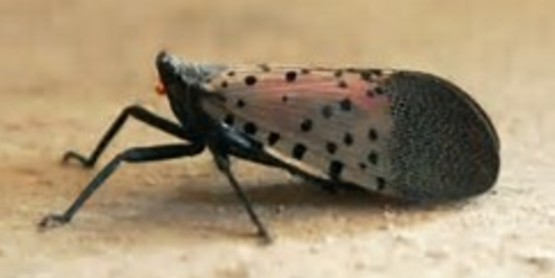 Spotted Lanternfly damages apples, hops, grapes & forest products