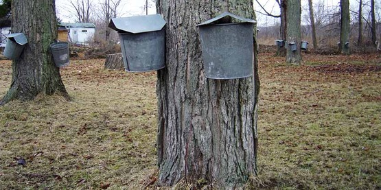 maple bucket hanging on maple tree to collect sap